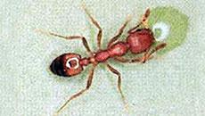 Pharaoh Ants