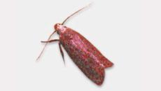 Angoumois Grain Moths