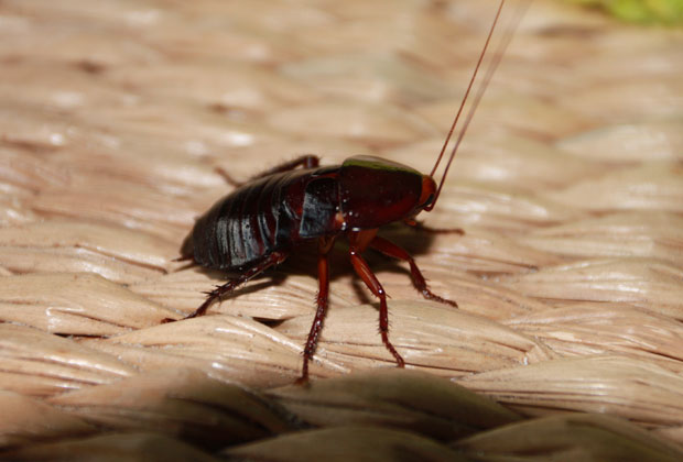 Florida Wood Roach