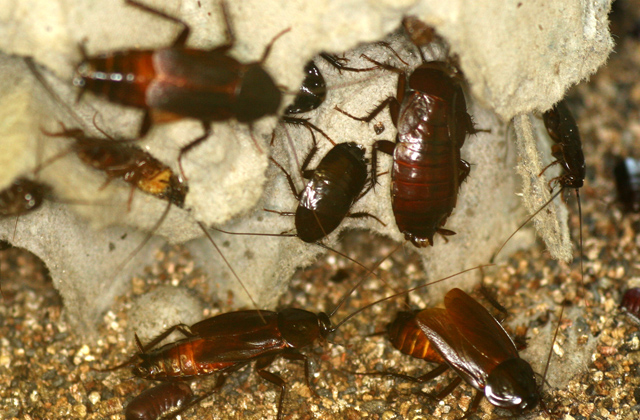 Group Of Roaches