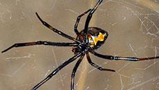 Black Widow Spiders