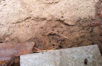 Citronella Ants Under Board