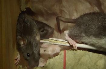 Pest Guide: Norway Rat