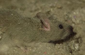 Pest Guide: Roof Rat